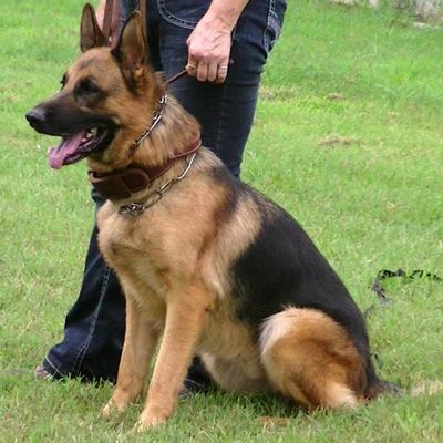 DACH HAUS GERMAN SHEPHERDS Foley, MO Thumbtack