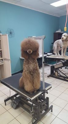 Poodle Perfect Pet Styling Indianapolis, IN Thumbtack